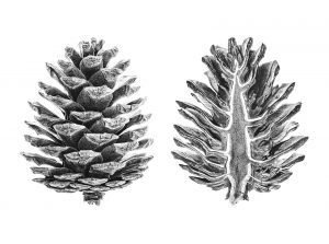pinecones_small_1600